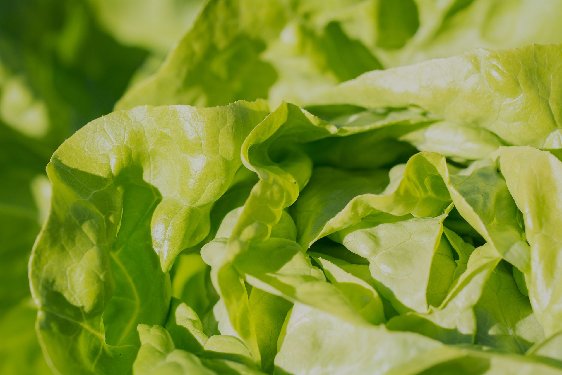 ffa-lettuce-20black